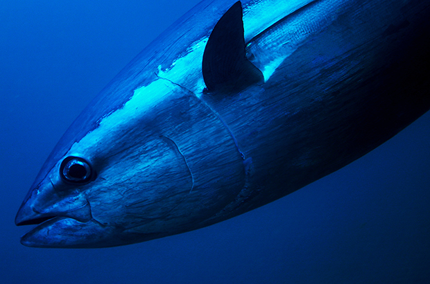 Bluefin Tuna close up underwater photo