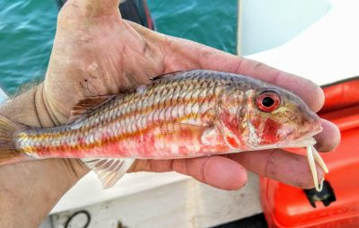 Heber Crawford Red Mullet