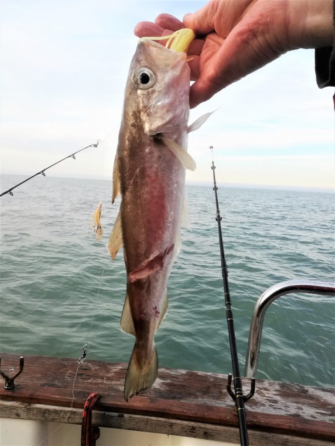 Whiting bitten by conger