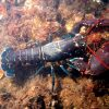 American Lobsters – Retain and Report