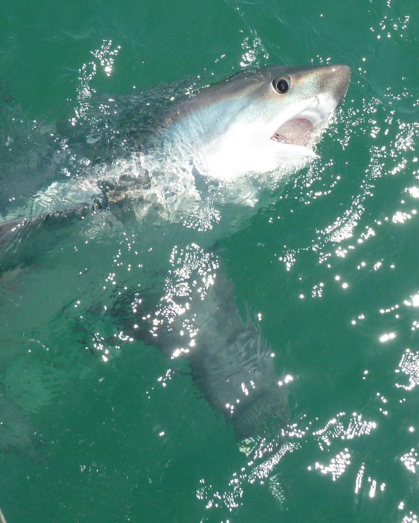 Thresher shark fishing Isle of Wight