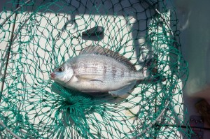 Black Bream